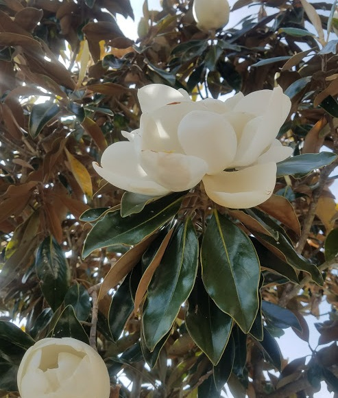 Scent of New Orleans, Magnolia, Flowers